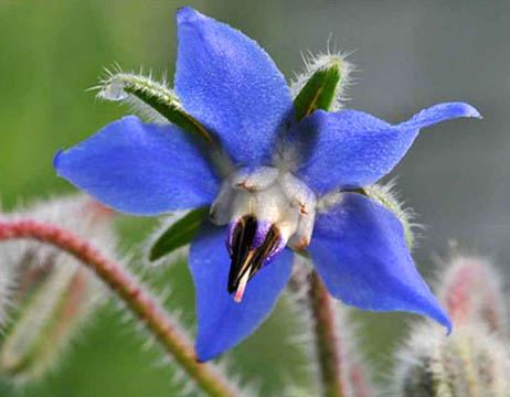 خواص گل گاو زبان